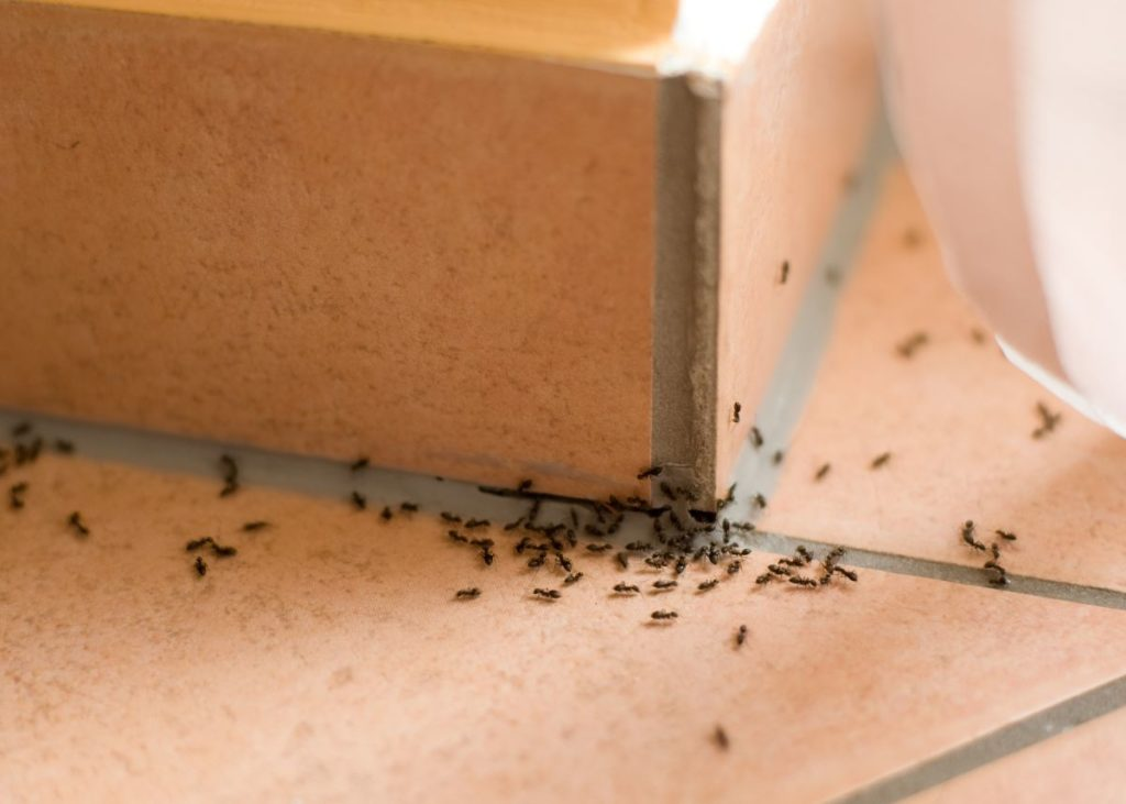 ants insect pest